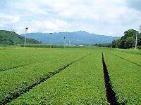 熊本のお茶畑